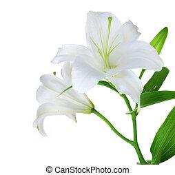 красивая, белый, лили, isolated
