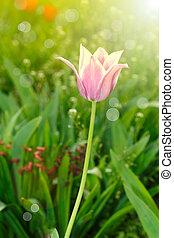 красивая, весна, солнце, тюльпан