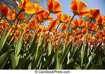 красивая, весна, тюльпан