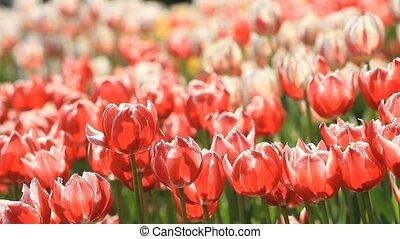 красивая, весна, цветение, tulips