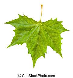 красивая, весна, leaves, isolated, зеленый, белый