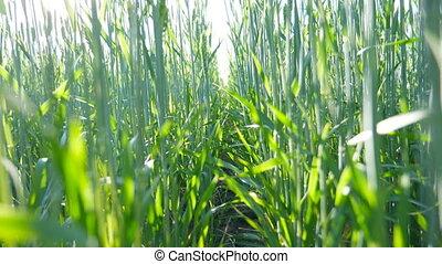 красивая, выстрел, луг, через, straws., закрыть, spikelets, синий, landscape., медленный, солнечный лучик, field., под, shining, растение, пшеница, природа, зерновой, кран, stalks, sky., swaying, вверх, движение, зеленый, ветер