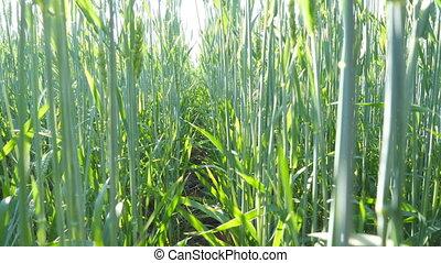красивая, выстрел, луг, через, straws., закрыть, spikelets, синий, landscape., солнечный лучик, field., под, shining, растение, пшеница, природа, зерновой, кран, stalks, sky., swaying, вверх, зеленый, ветер
