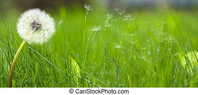 красивая, газон, белый, одуванчик