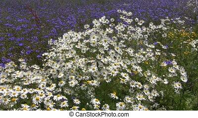 красивая, дикий, цветы, лето, поле