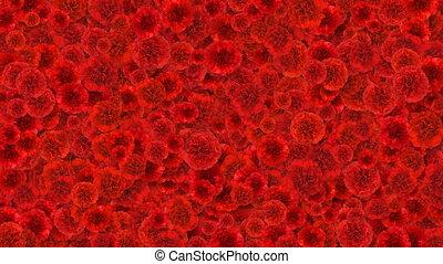красивая, жизнь, blooming, carnations, природа, весна, concept., покрытие, альфа, matte., screen., transitions., анимация, hd, новый, выращивание, полезным, цветы, ультра, красный, 4k