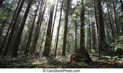 красивая, зеленый, лес
