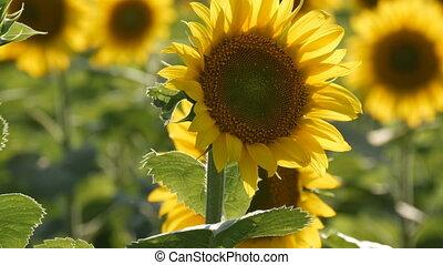красивая, лето, желтый, поле, тепло, sunflowers, день