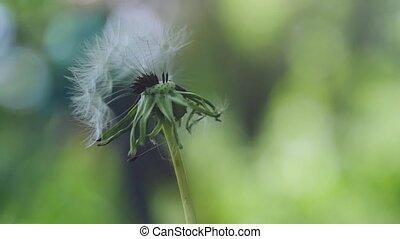 красивая, медленный, одуванчик, летающий, motion., размытый, seeds, зеленый, задний план, трава