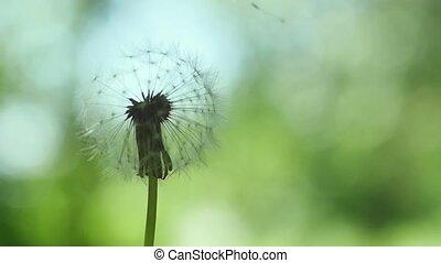 красивая, медленный, одуванчик, летающий, motion., seeds, зеленый, задний план, пятно, трава