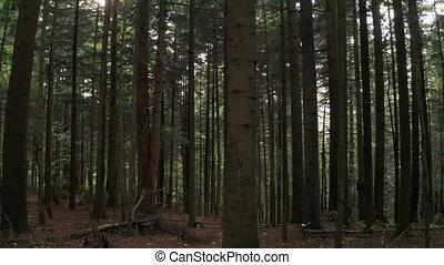 красивая, между, лес, перемещение, sunrise., сосна, утро,...