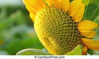 красивая, подсолнечник, солнце, 4k, 3840x2160, effects., поле, закат солнца, время, вспышка, в течение, lense, shining