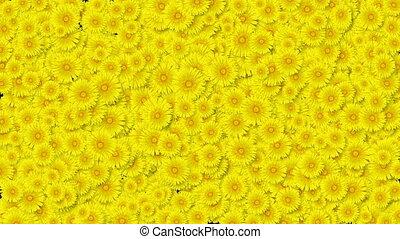 красивая, полезным, весна, желтый, transitions., dandelions, concept., matte., анимация, 3840x2160, новый, жизнь, природа, screen., альфа, цветы, hd, покрытие, 4k, blooming, выращивание, ультра
