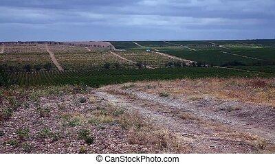 красивая, поле, виноград