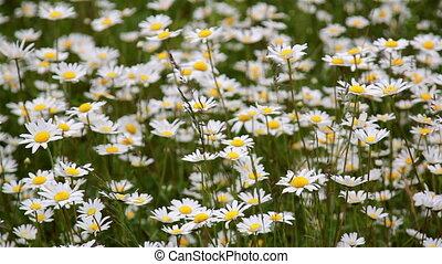 красивая, поле, маленький, daises