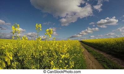 красивая, поле, рапсовое, дорога