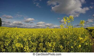 красивая, поле, рапсовое, канолы