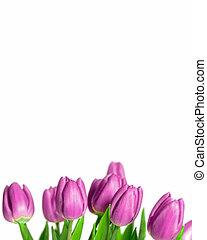 красивая, пурпурный, tulips, граница, весна