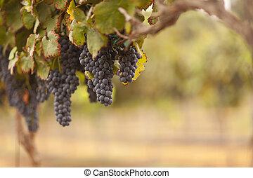 красивая, пышный, виноград, виноградник, в, , утро, солнце, and, туман