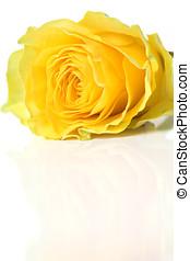 красивая, роза, желтый