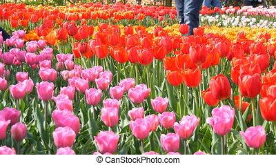 красивая, розовый, голландия, мир, смешивание, королевский, парк, многоцветный, известный, keukenhof., тюльпан, красный, tulips, закрыть, поле, нидерланды, посмотреть
