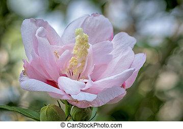 красивая, розовый, цветок, вверх, blooming, закрыть