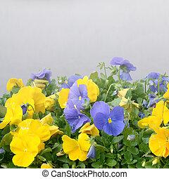 красивая, сад, весна, анютины глазки, blossoming, желтый, фиолетовый