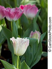 красивая, сад, красочный, весна, тюльпан, цветы