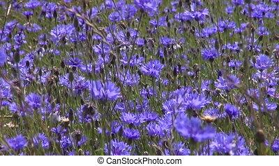 красивая, синий, василек, поле