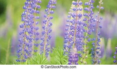 красивая, синий, пурпурный, люпин, переехать, поле, стоять,...