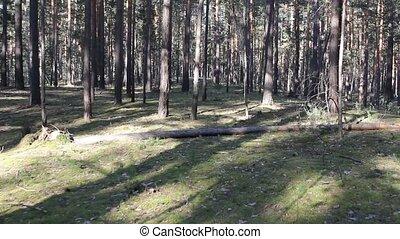 красивая, хвойный, лес