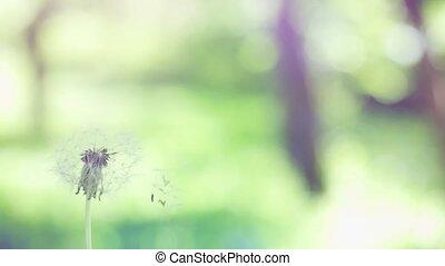 красивая, day., медленный, одуванчик, летающий, солнечно, размытый, движение, bokeh, seeds, зеленый, задний план, трава, 1920x1080