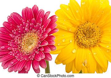 красивая, droplets, два, воды, blossoms, gerbera