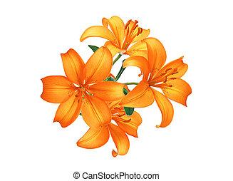 красивая, isolated, оранжевый, белый, цветы, лили