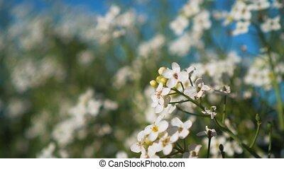 красивая, landscape., весна, leaves, дерево, park., shrubs, филиал, белый, цветы, раскачивание, ветер