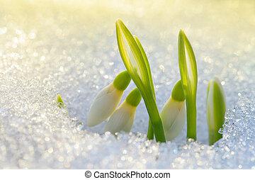 красивая, snowdrops, первый