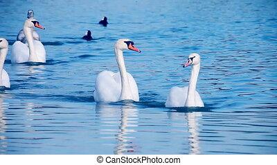красивая, swans, плавание