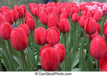 красивая, tulips, красный