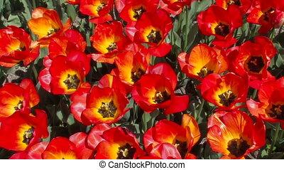 красивая, tulips., красный