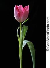красный, орхидея