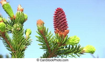красный, pinecone