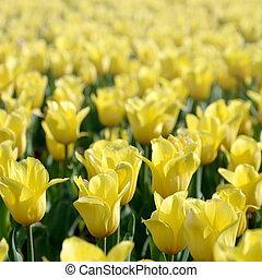 красочный, весна, желтый, тюльпан, яркий, blossoms, время