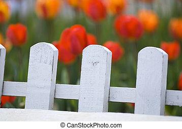 красочный, за, забор, tulips, белый