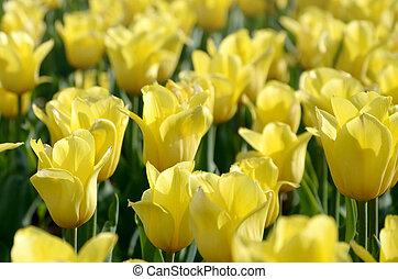 красочный, яркий, весна, время, blossoms, желтый, тюльпан
