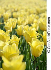 красочный, blossoms, желтый, весна, тюльпан, время, яркий