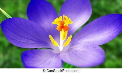 крокус, синий, весна, цветок
