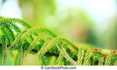 крупный план, дерево, филиал, хвойное дерево