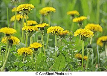 крупный план, dandelions