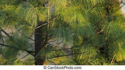 крупным планом, дерево, сосна