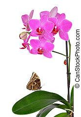 крупным планом, орхидея, пурпурный